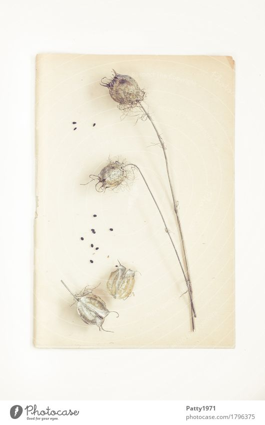 poppy Nature Plant Poppy Poppy capsule Seed Paper Piece of paper Herbarium Still Life Old Bright Retro Dry Brown Calm Nostalgia Decline Transience Change Time
