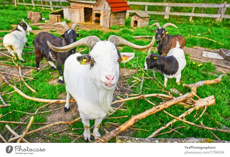 Long horned goat squad Beautiful Garden Nature Animal Spring Summer Farm animal Group of animals Herd Friendliness Funny Green amusing Domestic domesticated