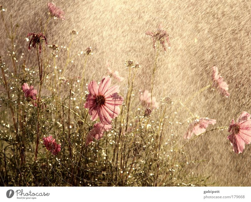Nature Plant Summer Flower Leaf Warmth Blossom Meadow Happy Brown Pink Rain Glittering Idyll Drops of water Joie de vivre (Vitality)