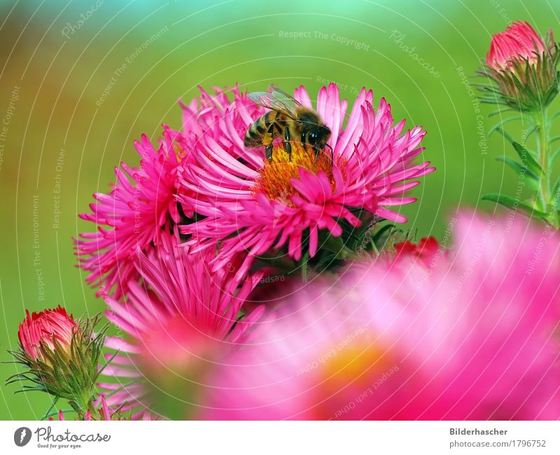 Pink Asters with Bee Honey bee Brilliant Insect Flying insect Blossom Flower Summerflower Flowering plants Daisy Family Bouquet Blossom leave Pollen Nectar Bud