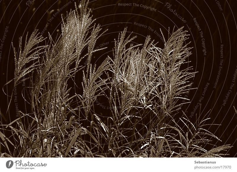 only reed Plant Common Reed Glittering Aquatic plant Grass Sepia