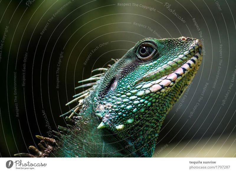 iguana Animal Wild animal Saurians Reptiles Iguana Dragon Green Iguana 1 emerald green Colour photo Portrait photograph Animal portrait Upward