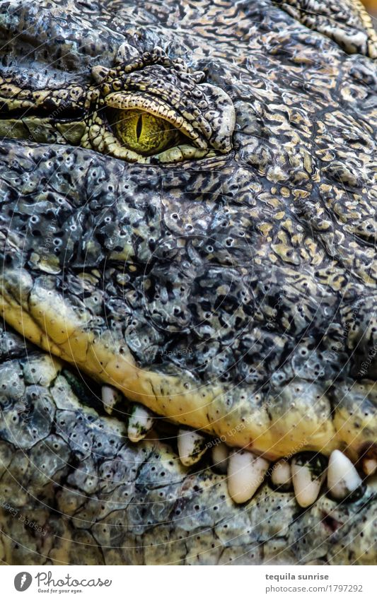 Croco I Animal Wild animal Zoo Reptiles Crocodile Alligator Caiman 1 Eyes Set of teeth To feed Smiling Laughter Evil Expectation Colour photo Subdued colour