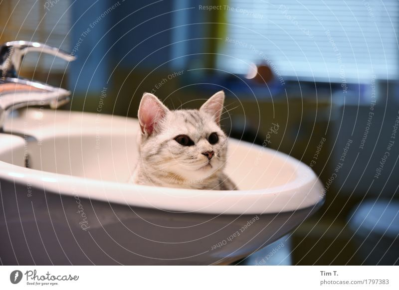 washing cat Animal Pet Cat 1 Calm Sink Bathroom putty Colour photo Interior shot Deserted Copy Space top Copy Space bottom Evening Artificial light