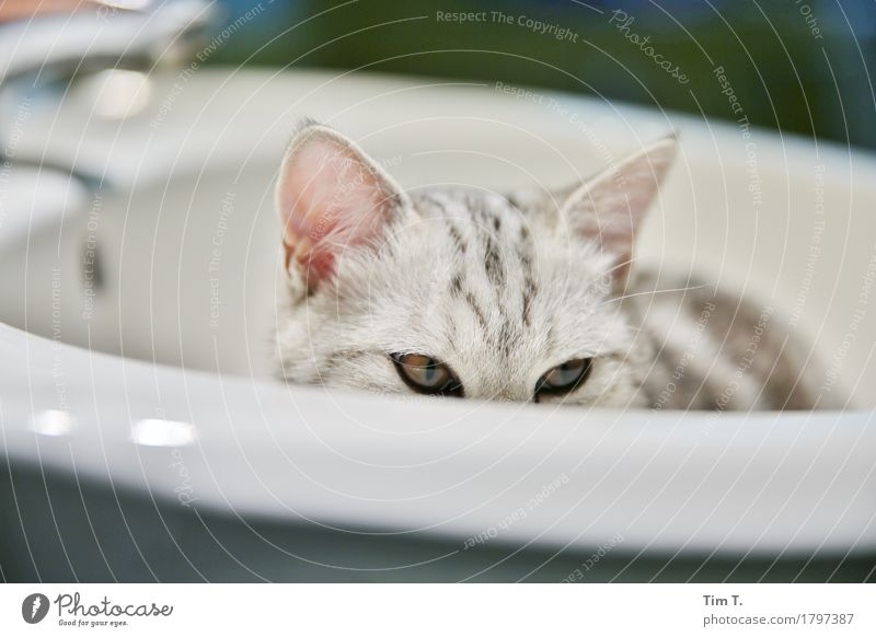 cat Animal Pet Cat 1 Calm Bathroom Sink Colour photo Interior shot Deserted Evening Looking
