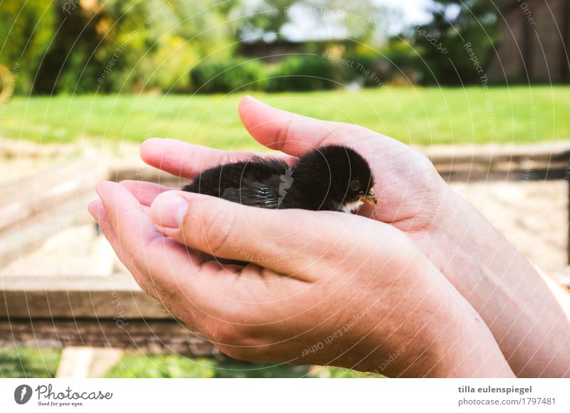 Better the chick in the hand ... Leisure and hobbies Masculine Hand 1 Human being Animal Farm animal Chick Barn fowl Baby animal Touch Catch To hold on Crouch
