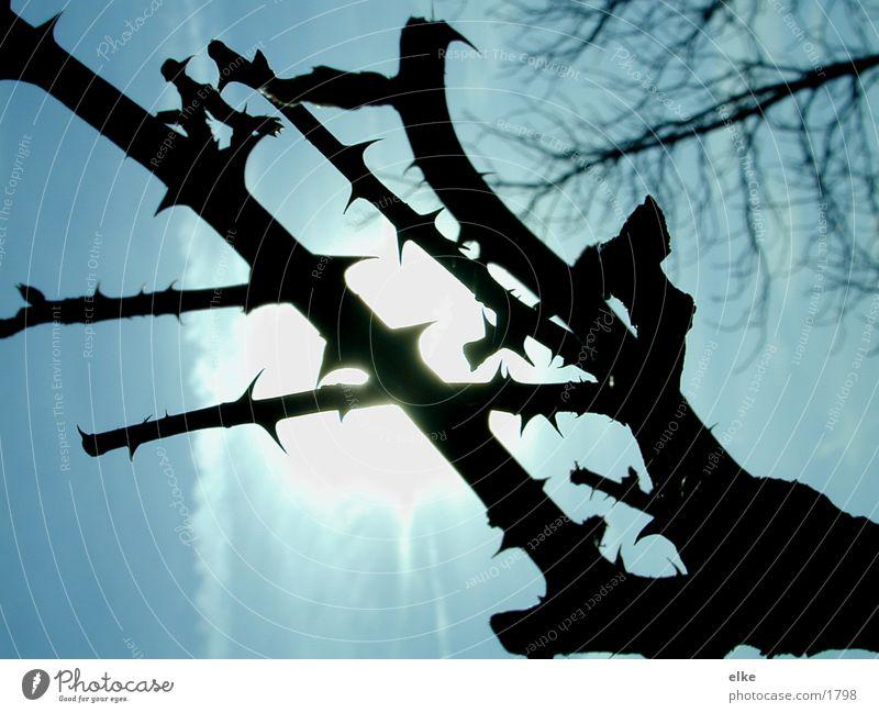 arbor Thorn Branch Sun Kitsch