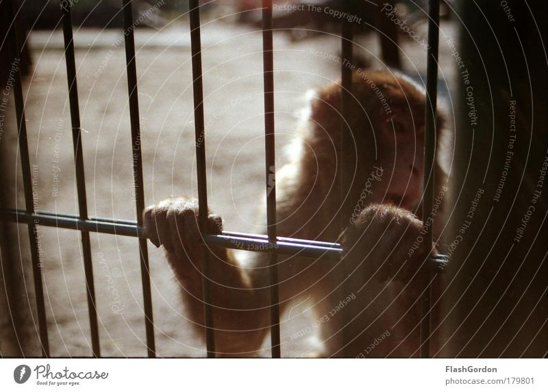 Japanese macaque Exterior shot Animal portrait Looking away Wild animal Animal face Paw Zoo 1 Humble Sadness Homesickness Wanderlust Loneliness Monkeys Day