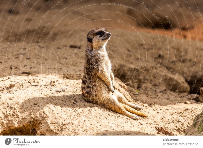 Nature Animal Contentment Warm-heartedness Watchfulness Safety (feeling of) Meerkat