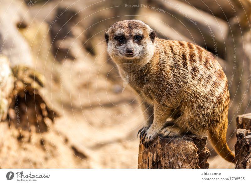 "earth girl Animal Wild animal Meerkat 1 Sit ""image Africa African Biology Dry, earthy men. fauna photo Kalahari desert rural ,national Park"