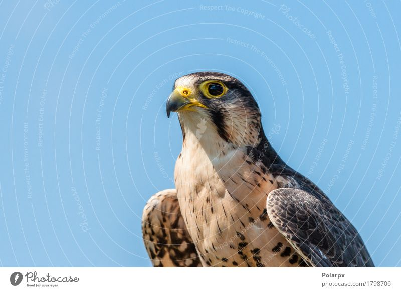 Kestrel falcon with yellow beak Beautiful Hunting Woman Adults Man Nature Animal Sky Bird Wing Observe Large Natural Wild Brown Colour wildlife Prey predator