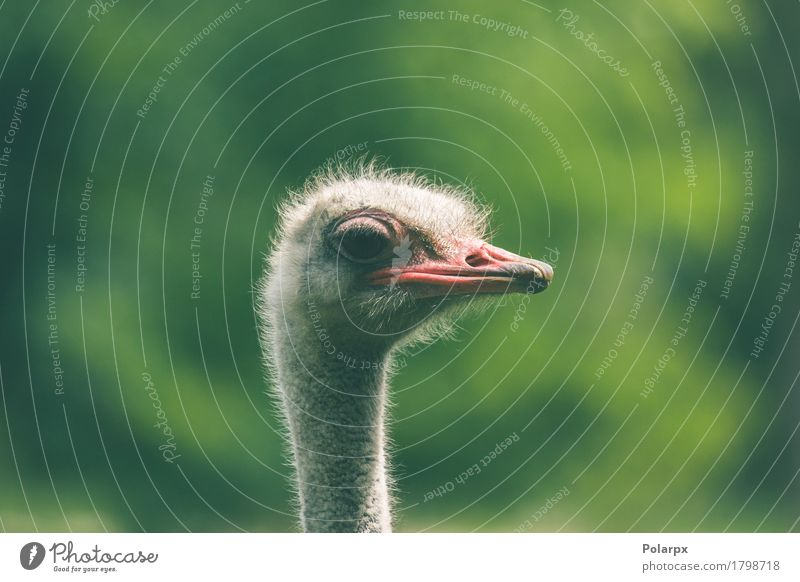 Ostrich headshot on green background Face Playing Vacation & Travel Safari Zoo Nature Plant Animal Grass Park Bird Large Long Natural Wild White Protection