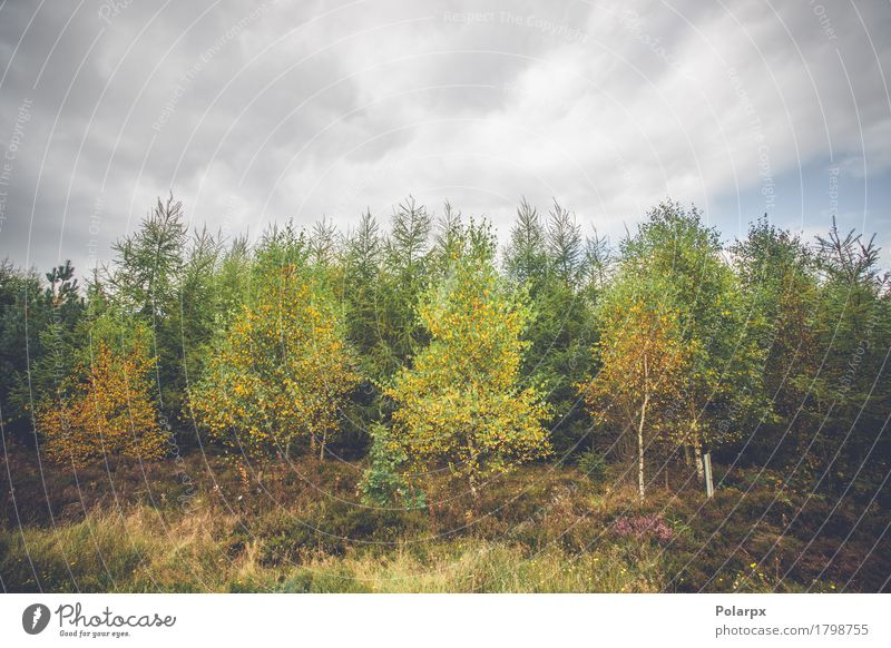 Birch trees in autumn colors Sky Nature Plant Colour Green Beautiful Tree Landscape Red Leaf Forest Environment Yellow Lanes & trails Autumn Natural
