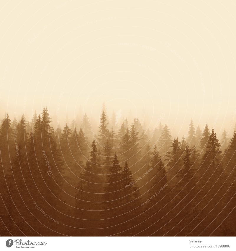 pine forest in mountains with fog Summer Mountain Environment Nature Landscape Fog Tree Forest Sadness Natural Yellow Loneliness mystery light diagonals Seasons