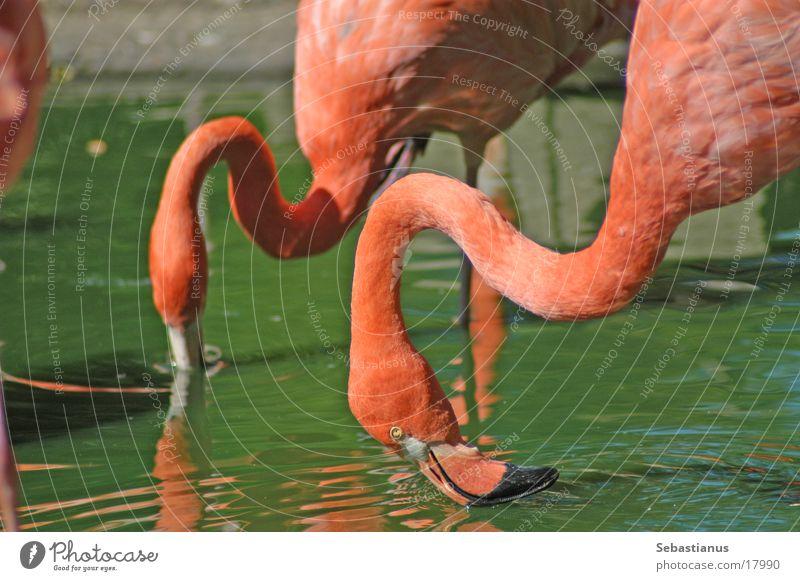 drinking flamingos Flamingo Drinking Pink Bird long neck green water (bah)