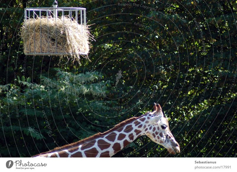 I'll get a neck. Straw Cage Giraffe Duisburg Zoo Neck exotic species