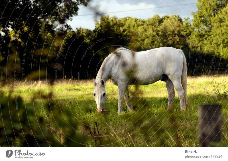 Just a horse Colour photo Exterior shot Day Sunlight Sunbeam Central perspective Nature Landscape Plant Animal Summer Meadow Horse 1 To feed Esthetic Authentic