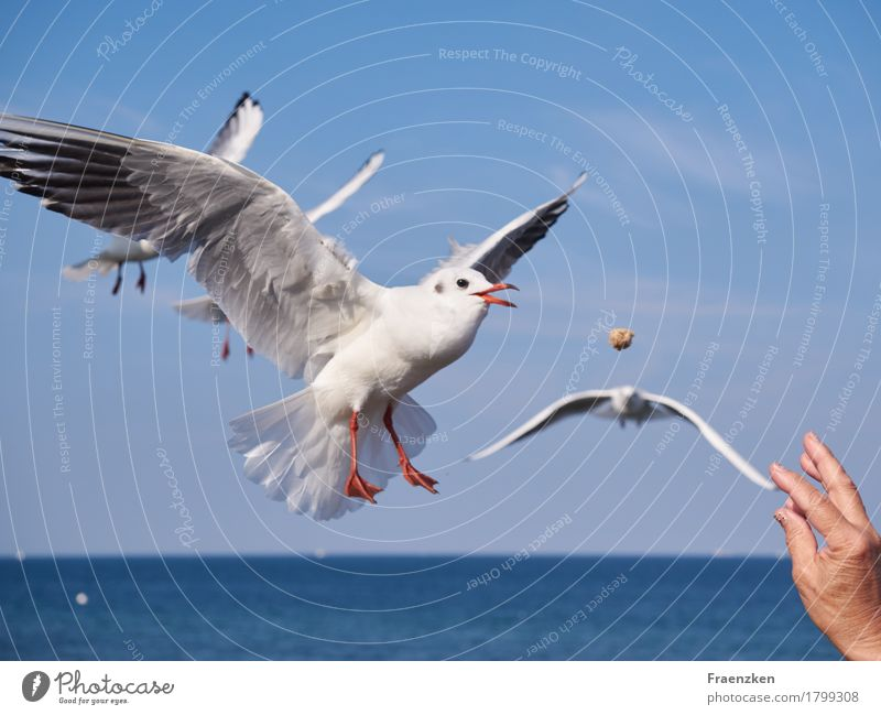 Seagull catches bread in the air Hand Nature Cloudless sky Summer Animal Bird Wing 1 Eating Flying Hunting Delicious Appetite Voracious sea Black-headed gull