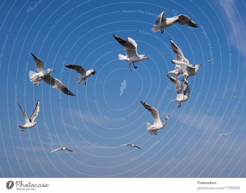 Seagulls fight for some bread Nature Animal Air Cloudless sky Summer Beautiful weather Bird Wing Flock Eating Fight Appetite Voracious eye feather feed food sea