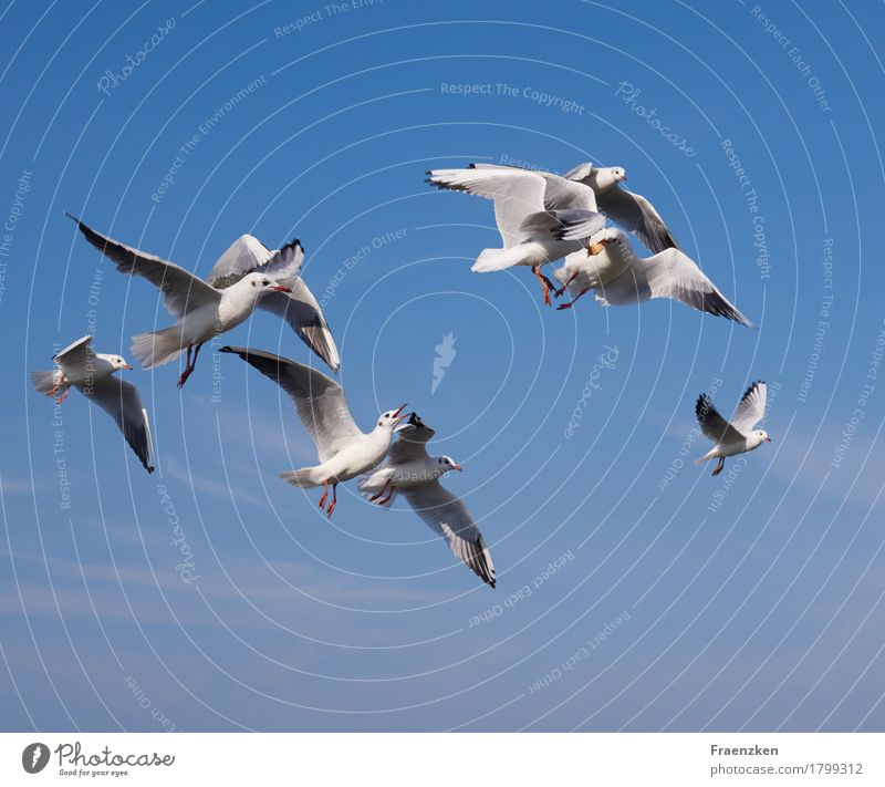 Seagulls fight for some bread Nature Animal Sky Bird Flock Argument Appetite Envy Aggression eye feather feed food sea Black-headed gull  white wing