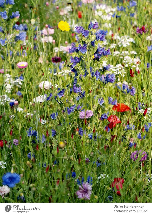 Colourful wildflower mixture in a summer meadow Colour photo Exterior shot Sunlight Fragrance Environment Nature Plant Summer flowers Wild plant Meadow