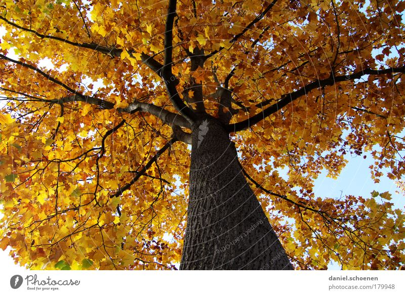 yellow autumn from below Worm's-eye view Environment Nature Plant Autumn Beautiful weather Tree Park Forest Yellow Gold Colour Transience Time