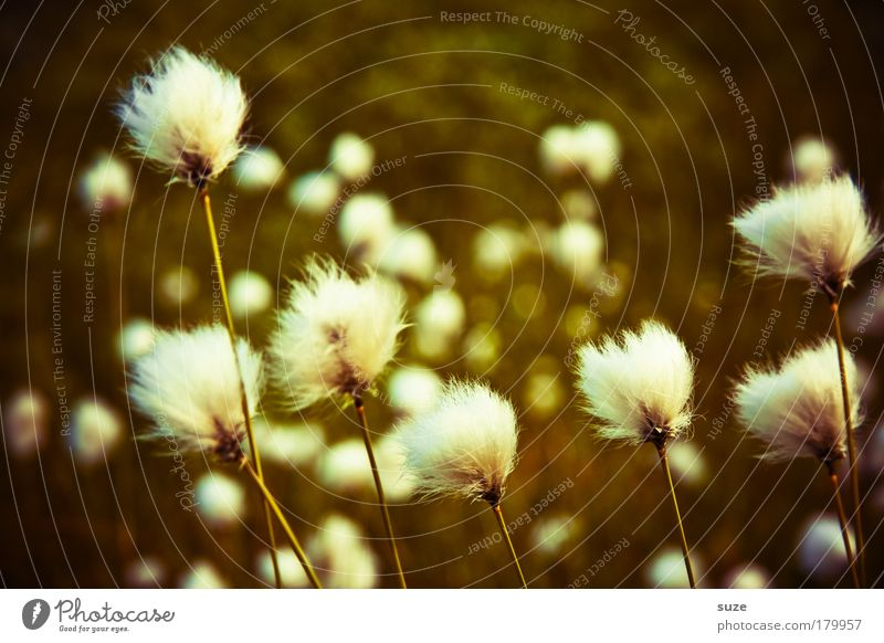 Nature Plant Meadow Grass Landscape Weather Environment Growth Soft Wool Cotton grass Cotton gras meadow