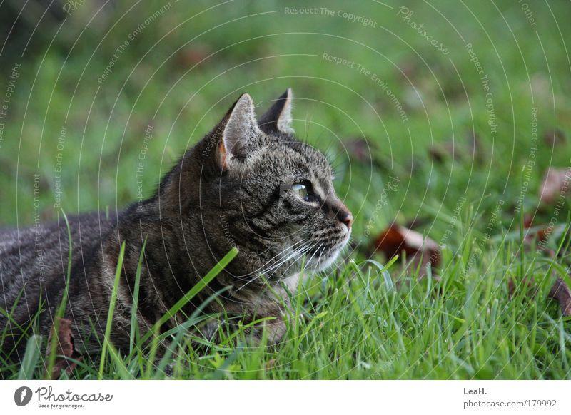 Animal Cat Wait Animal face Lie Catch Cute Friendliness Pet