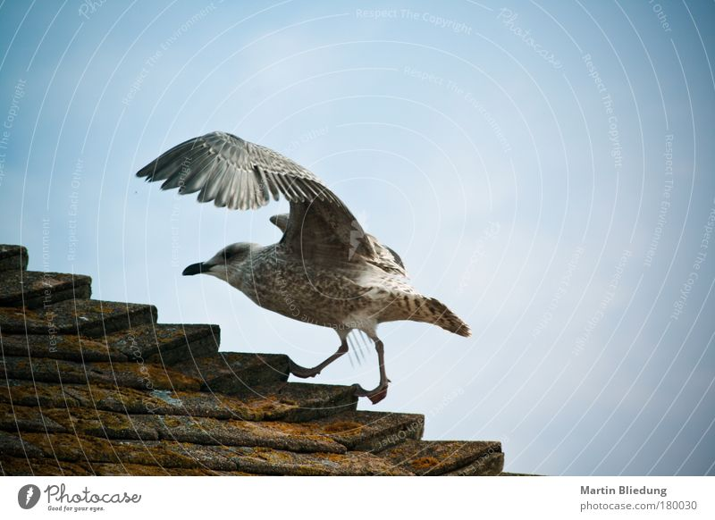 Sky Blue White Summer Animal Environment Movement Air Brown Going Walking Wild animal Roof Athletic Seagull Silver
