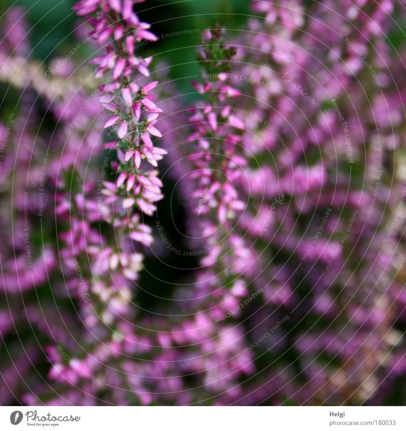 purple autumn.... Colour photo Exterior shot Close-up Detail Deserted Day Central perspective Nature Plant Autumn Beautiful weather Flower Blossom