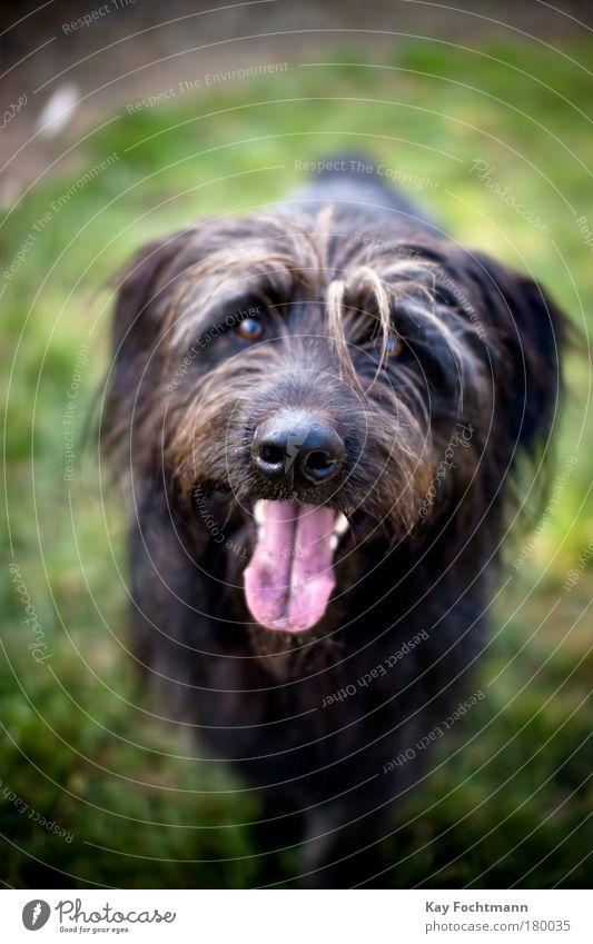 Dog Nature Animal Black Movement Wait Pelt Animal face Pet Tongue Head Dog's snout Puppydog eyes Dog eyes