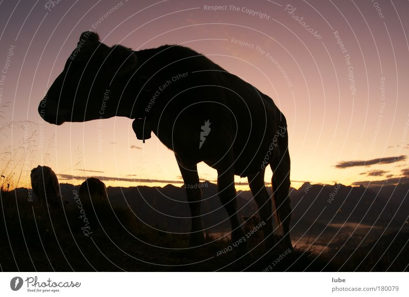 Cattle in the morning Exterior shot Morning Dawn Silhouette Sunrise Sunset Wide angle Animal portrait Mountain Nature Landscape Horizon Beautiful weather Alps