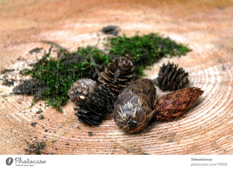 Tree trunk Fir cone Forest fruit