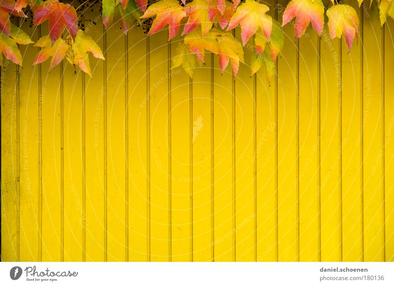 Red Leaf Yellow Autumn Wall (building) Wood Wall (barrier) Facade Transience Multicoloured Ivy