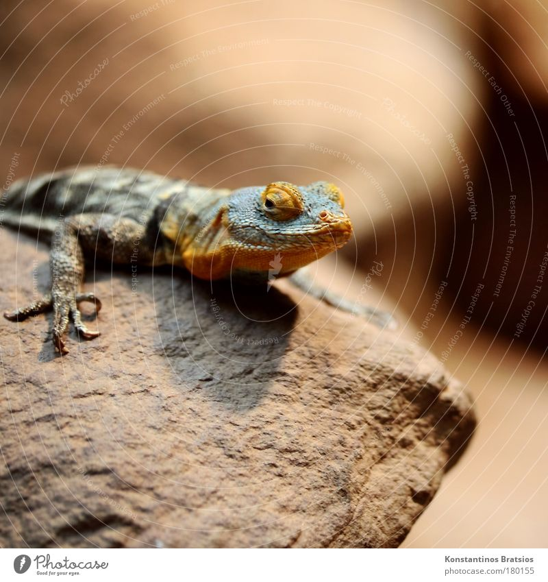 Nature Blue Eyes Animal Head Stone Brown Orange Wait Sit Observe Zoo Exotic Reptiles Claw