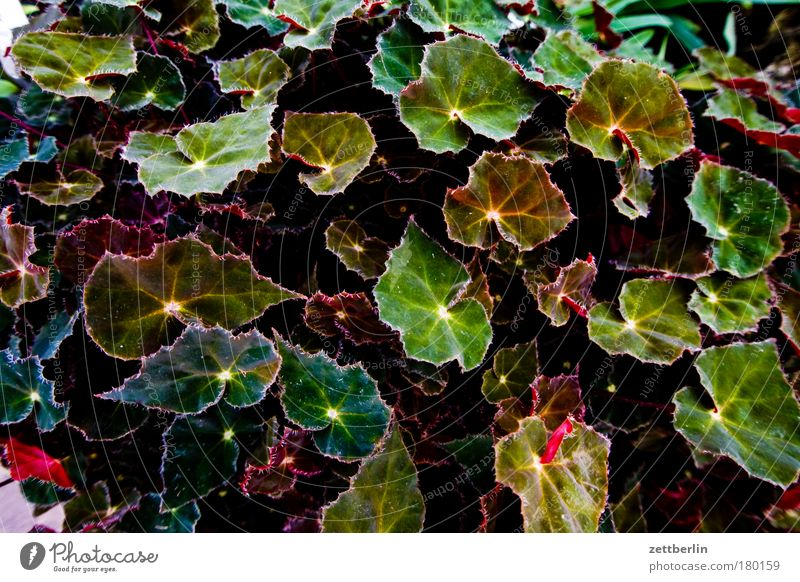 begonias Nature Botanical gardens Plant Foliage plant Leaf Leaf green Growth Summer Oxygen Park Copy Space