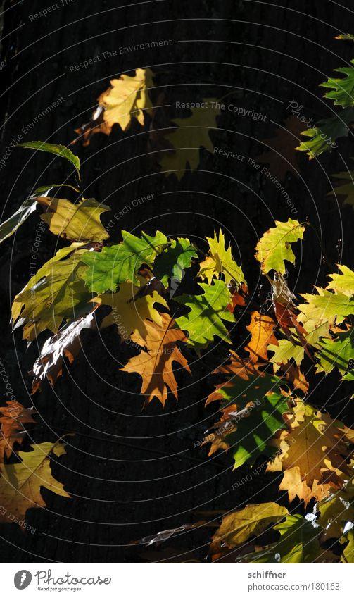 Nature Old Tree Plant Leaf Autumn Environment Transience Seasons Autumn leaves Deciduous tree