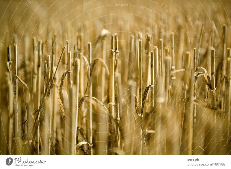 Golden Fields Grain Landscape Growth Botany Ecological Food Cut Wheat Verdant Stubble Autumnal Cereal Stubble field