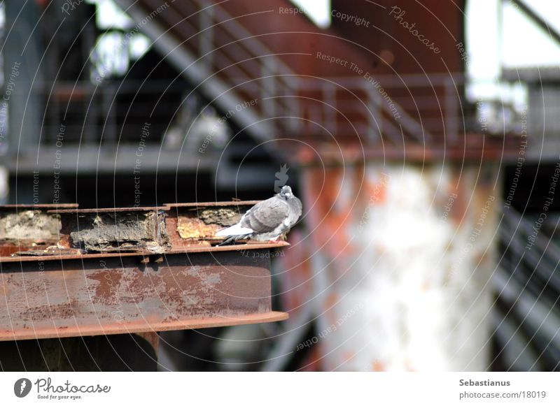 Bird The Ruhr Pigeon Iron Duisburg Production Furnace Industrial heritage