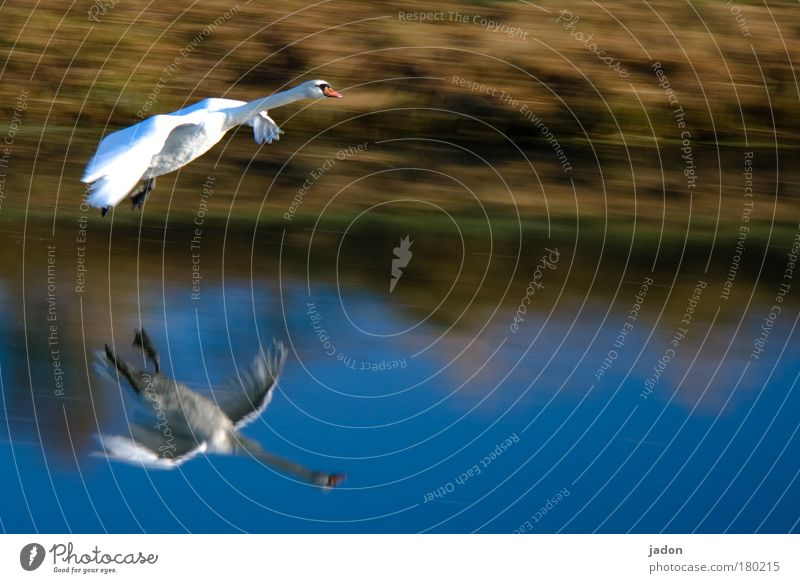 approach Exterior shot Morning Reflection Animal portrait Swan Wing 1 Observe Flying Fantastic Gigantic Blue Power Beautiful Esthetic Movement River Water