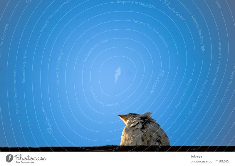 BirdPerspective Cloudless sky Beautiful weather Far-off places Blue Sparrow Bird's-eye view Minimalistic Simple Sit Looking Observe Relaxation Animal Feather