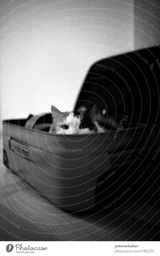box cat Black & white photo Interior shot Copy Space top Shallow depth of field Animal portrait Front view Looking into the camera Playing Trip Expedition