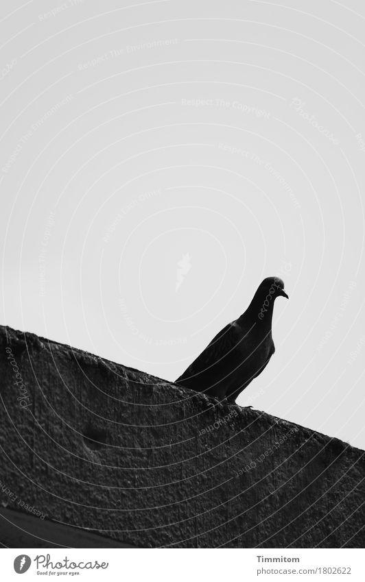 When everything seems difficult. Sky Facade Animal Bird Pigeon 1 Concrete Looking Sit Dark Gray Black Emotions Concern Sadness Claw Black & white photo