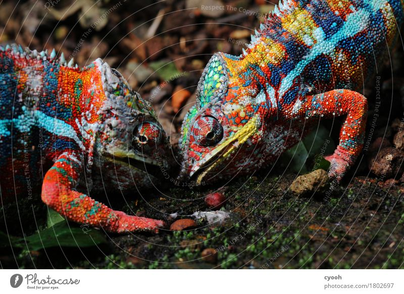 Battle of the Titans. Zoo 2 Animal Rutting season Fight Aggression Exotic Near Crazy Thorny Anger Multicoloured Power Animosity Chameleon Masculine Reptiles