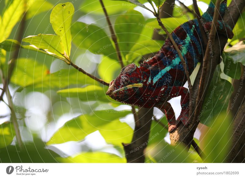 chameleon. Zoo 1 Animal Observe Crouch Thorny Multicoloured Contentment Boredom Whimsical Time Chameleon Reptiles Saurians Wacky Crazy Wait Calm Motionless