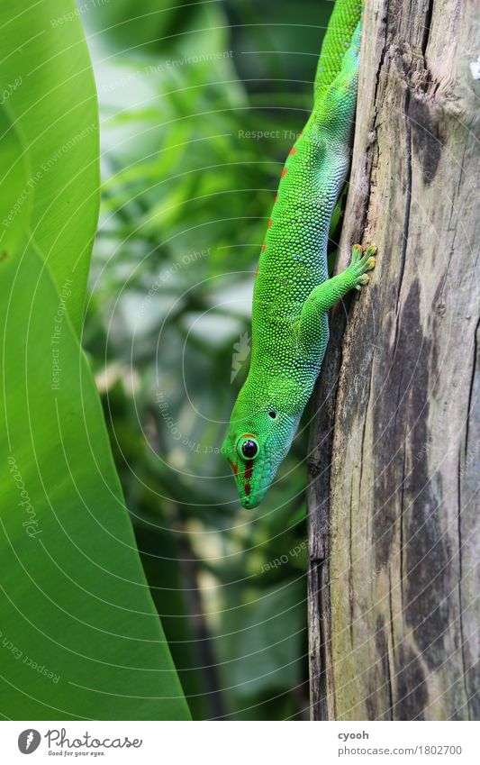 gecko. Zoo 1 Animal Crouch Green Gecko Saurians Reptiles Eyes Scales Wait Observe Hiding place Camouflage colour Break Calm Cozy Speed Flexible Close-up
