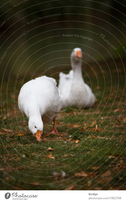 Goose in luck Agriculture Forestry Autumn Meadow Farm animal 2 Animal Pair of animals Movement To feed Esthetic Authentic Friendliness Positive Contentment