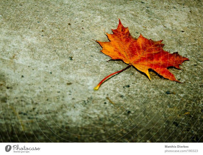 Beautiful Loneliness Leaf Yellow Autumn Gloomy Gold Individual Concrete Uniqueness Floor covering Ground Decline Stalk End Autumnal