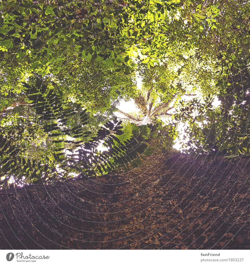 jungle giant Environment Nature Plant Tree Fern Leaf Large Infinity Bright Tall Brown Green Life Tree bark Tree trunk Leaf canopy Virgin forest Malaya