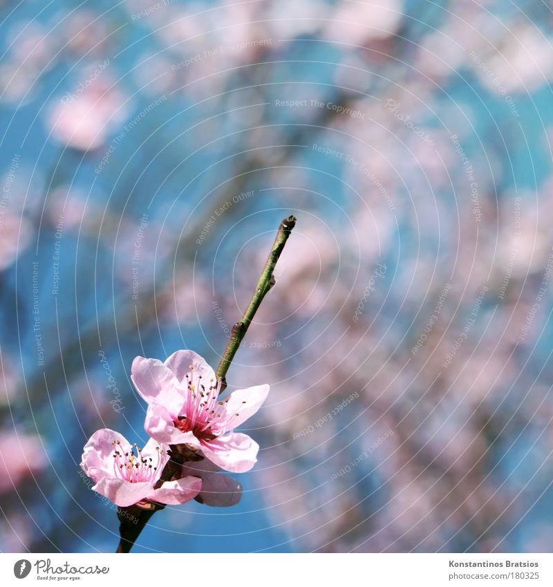 Cherry Blossom Special Colour photo Exterior shot Copy Space right Copy Space top Day Blur Nature Spring Plant Tree Cherry blossom Cherry tree Branch Twig Park